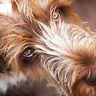 Brown Roan Italian Spinone Dog Head Shot by heidiannemorris