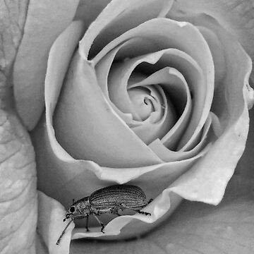 Weevil on Rose by zuluspice