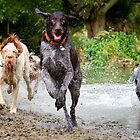 Wirehaired Pointers And Spinone Enjoying A River Adventure! by heidiannemorris