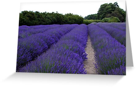 Lavender Fields Forever ~ Sequim, Washington by Marjorie Wallace