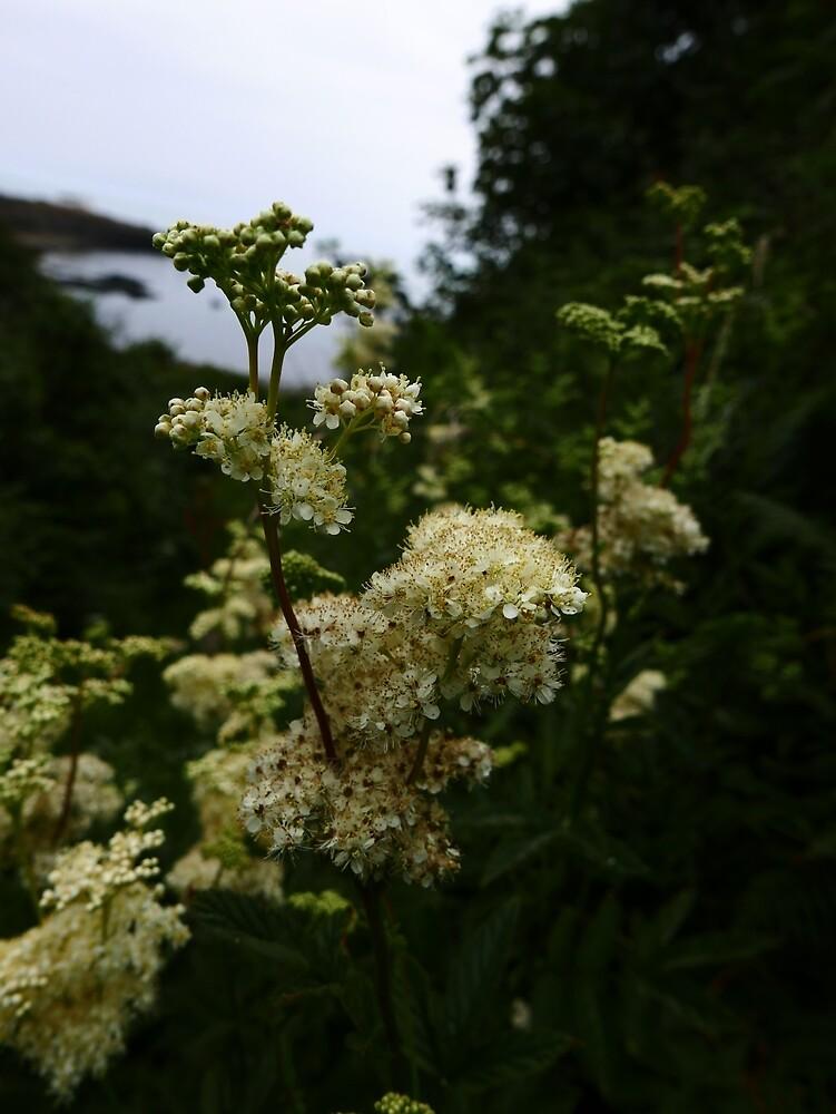 Meadowsweet (Filipendula ulmaria) by IOMWildFlowers