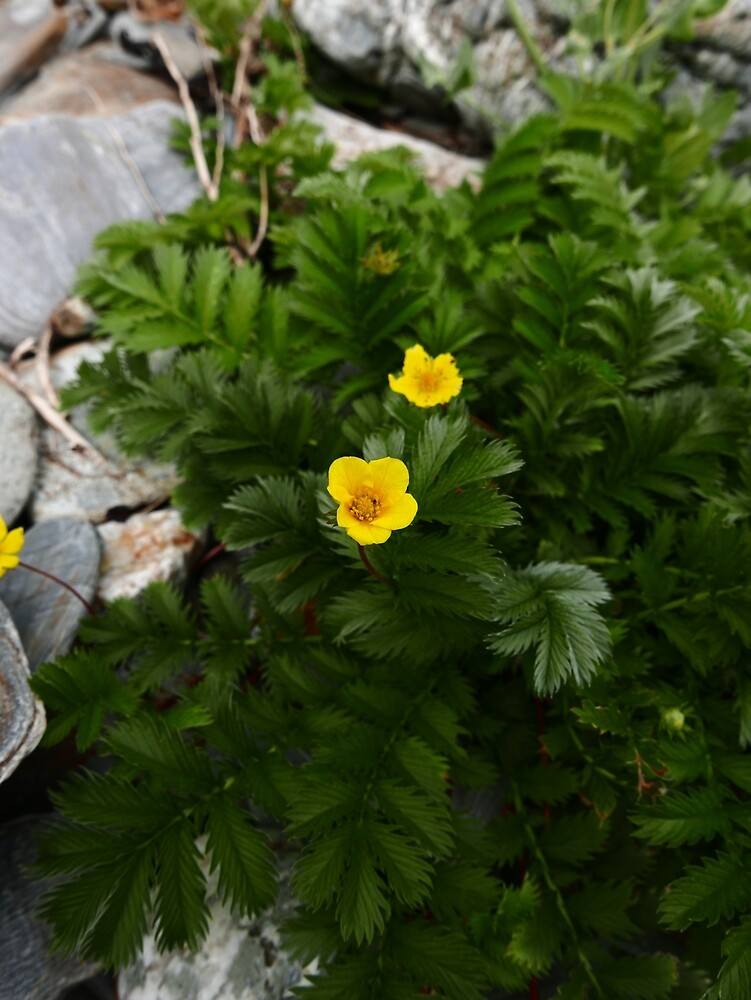 Silverweed (Argentina anserina) by IOMWildFlowers