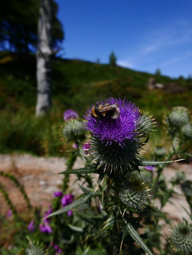 Spear Thistle (Cirsium vulgare) by IOMWildFlowers