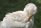 Lake Eola duck by Larry  Grayam