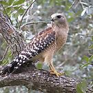 Red Shouldered Hawk by enyaw