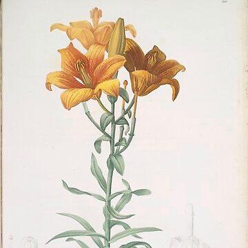 Vintage Plants - Lilium bulbiferum by delennjadzia