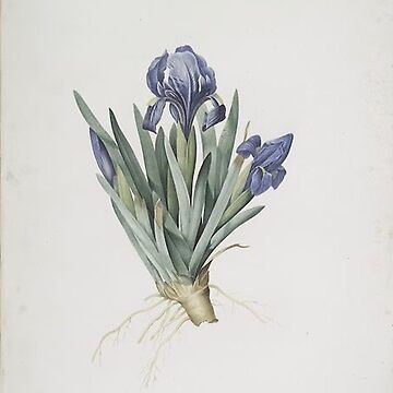 Vintage Plants - Iris pumila floribus cæruleis by delennjadzia