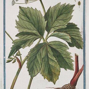 Vintage Plants - Imperatoria pratensis major by delennjadzia