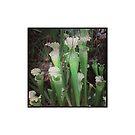 Carnivorous Plants: American Pitcher Plant by JMerriman
