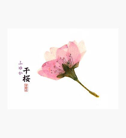 Dried Sakura Photographic Print