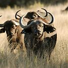 Buffalo - Okavango Delta, Botswana by Sharon Bishop