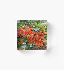 Queensland Crimson Firewheel tree Stenocarpus sinuatus 20180430 2673  Acrylic Block