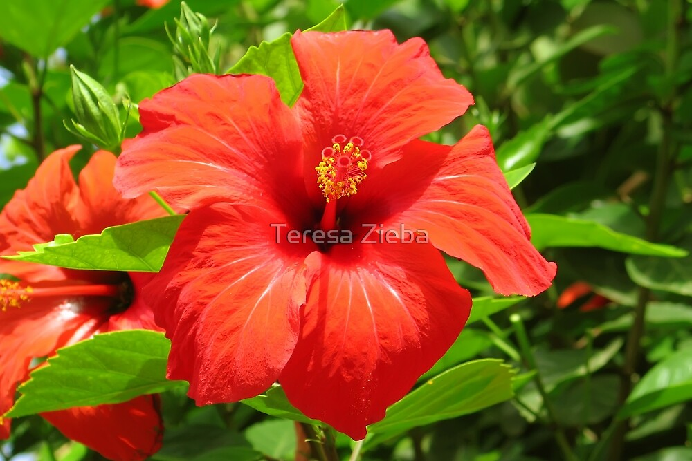 Red Hibiscus by Teresa Zieba