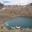 Llamas at 17,500 Feet by Ryan + Corinne Priest
