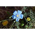 Native Plants: Blue Flax by JMerriman