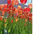 Tulips by JMerriman