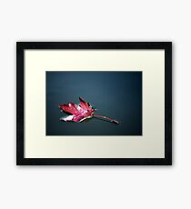 A single red maple leaf floating Framed Print