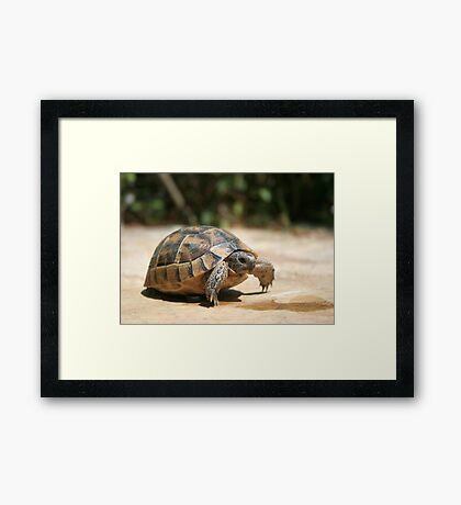Portrait of a Young Wild Tortoise Framed Print