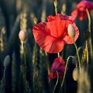 Poppy#1 by Kasia Fiszer