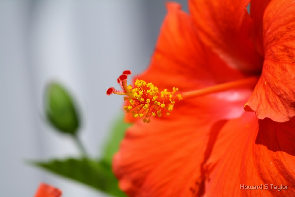 HIBISCUS by Howard S Taylor