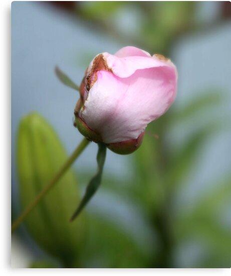 puny pink peony by Stephen Thomas
