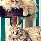 Cesare and Cleopatra on the cat tree by Giuseppe 23 Esposito