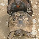 Humorous Mating Tortoises by taiche