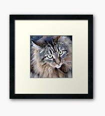 Maine Coon Cat What a Beauty Framed Print