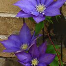 Clematis Times Three by KatsEye