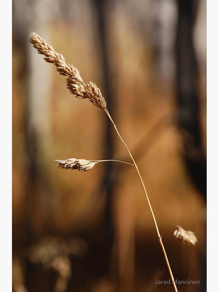 Autumn Grasses by JaredManninen