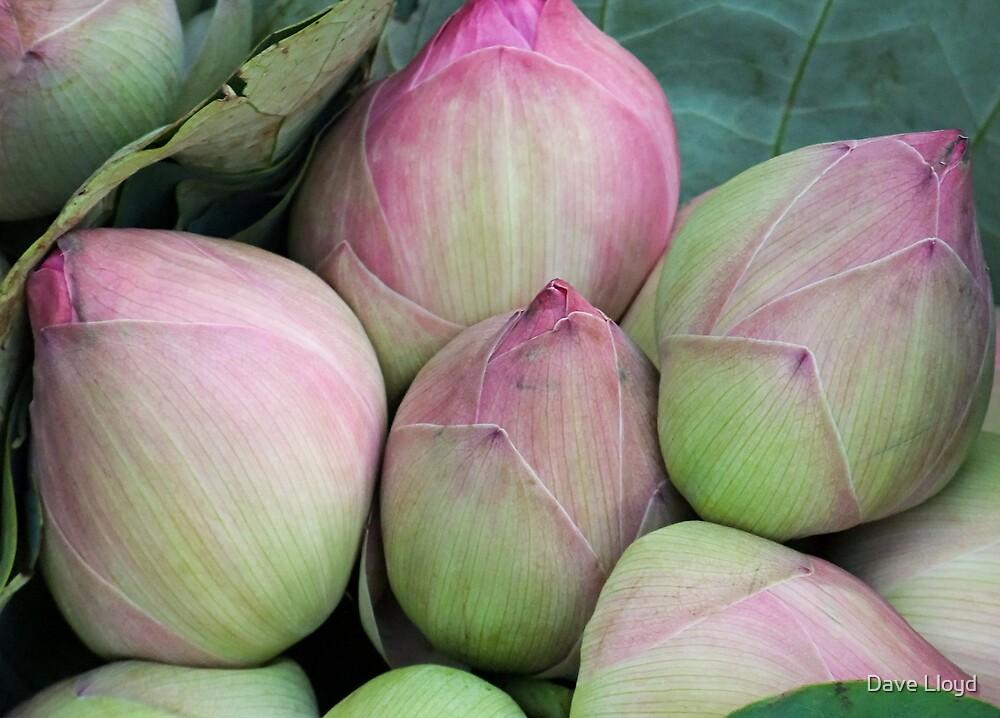 Lotus Buds by Dave Lloyd