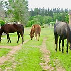Pferde bei Seaglass Stables, PEI von Shulie1