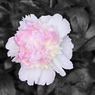Garden Pink Peony by daphsam