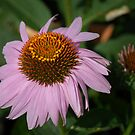 Purple Coneflower by Colleen Drew