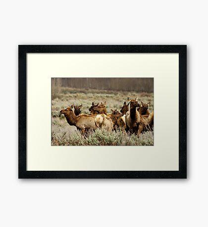 Elk Herd - Teton National Park Framed Print