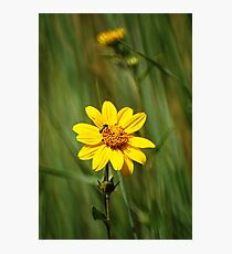 Yellow Wildflower - The Alpine Loop Photographic Print