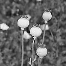 Opium Poppies  by Wendy Mogul