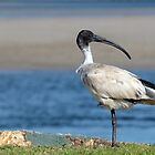 Australian White Ibis 06158 by kevin Chippindall