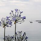 Agapanthus by the Sea,, Lyme Dorset UK by lynn carter