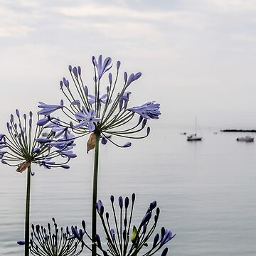 Agapanthus by the Sea,, Lyme Dorset UK by lynn45