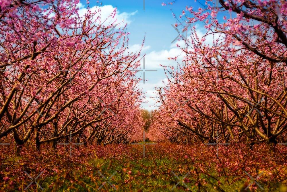 Peach blossoms by (Tallow) Dave  Van de Laar