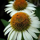 White Coneflowers by Colleen Drew