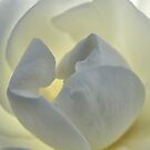 Back lit white rose Macro Monochrome by TeAnne