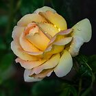 Pretty yellow rose by JBlaminsky