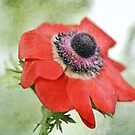 Red Anemone by Astrid Ewing Photography
