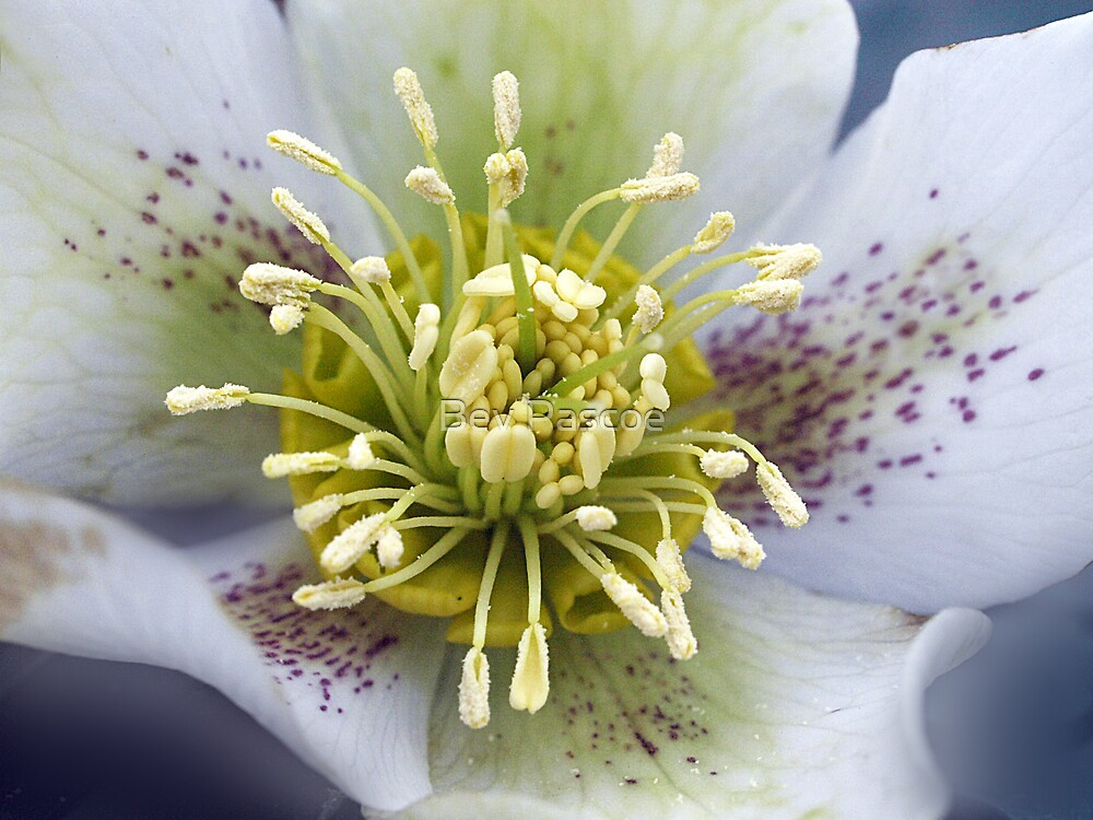 Helebores white by Bev Pascoe