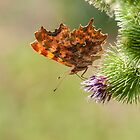 Butterfly feed on nectar by flashcompact