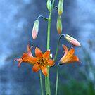 Alpine Lily (Lilium parvum) by Jared Manninen