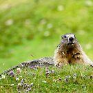Alpine Marmot (Marmota marmota) by Alison Cornford-Matheson