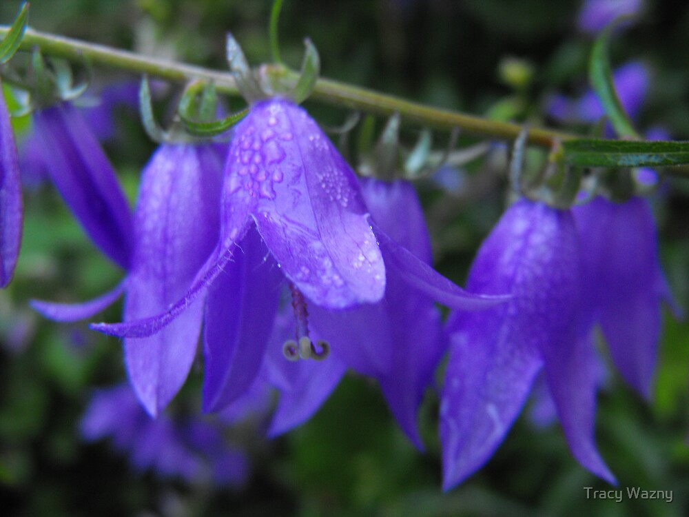Dreamy Blue Bellflower by Tracy Wazny